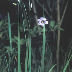 Leaves: Sisyrinchium montanum. ~ By George Lienau. ~ Copyright © 2019 New England Wild Flower Society. ~ Image Request, images[at]newenglandwild.org