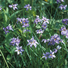Flowers: Sisyrinchium mucronatum. ~ By Frank Bramley. ~ Copyright © 2020 New England Wild Flower Society. ~ Image Request, images[at]newenglandwild.org