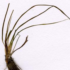 Shoots: Isoetes acadiensis. ~ By CONN Herbarium. ~ Copyright © 2019 CONN Herbarium. ~ Requests for image use not currently accepted by copyright holder ~ U. of Connecticut Herbarium - bgbaseserver.eeb.uconn.edu/
