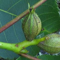 Fruits: Carya cordiformis. ~ By Alexey Zinovjev. ~ Copyright © 2018. ~ webmaster[at]salicicola.com ~ Salicicola - www.salicicola.com/