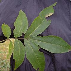 Leaves: Carya cordiformis. ~ By Alexey Zinovjev. ~ Copyright © 2018. ~ webmaster[at]salicicola.com ~ Salicicola - www.salicicola.com/