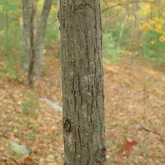 Bark: Carya glabra. ~ By Arthur Haines. ~ Copyright © 2020. ~ arthurhaines[at]wildblue.net