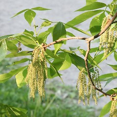 Flowers: Carya glabra. ~ By Arieh Tal. ~ Copyright © 2020 Arieh Tal. ~ http://botphoto.com/ ~ Arieh Tal - botphoto.com