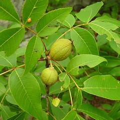 Fruits: Carya glabra. ~ By Arthur Haines. ~ Copyright © 2020. ~ arthurhaines[at]wildblue.net
