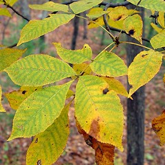 Leaves: Carya glabra. ~ By Arthur Haines. ~ Copyright © 2020. ~ arthurhaines[at]wildblue.net