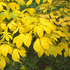 Leaves: Carya glabra. ~ By John Lynch. ~ Copyright © 2020 New England Wild Flower Society. ~ Image Request, images[at]newenglandwild.org