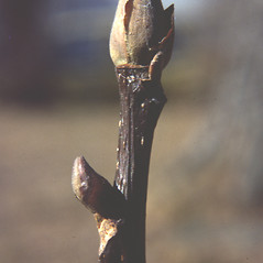 Winter buds: Carya ovata. ~ By Carol Levine. ~ Copyright © 2019 Carol Levine. ~ carolflora[at]optonline.net