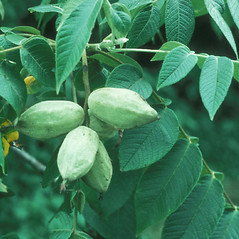 Fruits: Juglans cinerea. ~ By Frank Bramley. ~ Copyright © 2019 New England Wild Flower Society. ~ Image Request, images[at]newenglandwild.org