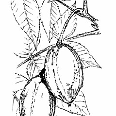 Fruits: Juglans cinerea. ~ By Gordon Morrison. ~ Copyright © 2017 New England Wild Flower Society. ~ Image Request, images[at]newenglandwild.org