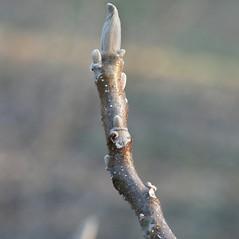 Winter buds: Juglans cinerea. ~ By Arieh Tal. ~ Copyright © 2019 Arieh Tal. ~ www.nttlphoto.com ~ Arieh Tal - www.nttlphoto.com