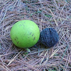 Fruits: Juglans nigra. ~ By Arthur Haines. ~ Copyright © 2018. ~ arthurhaines[at]wildblue.net