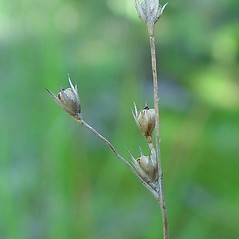 Flowers and fruits: Juncus anthelatus. ~ By Arthur Haines. ~ Copyright © 2019. ~ arthurhaines[at]wildblue.net