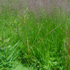 Plant form: Juncus anthelatus. ~ By Arthur Haines. ~ Copyright © 2020. ~ arthurhaines[at]wildblue.net