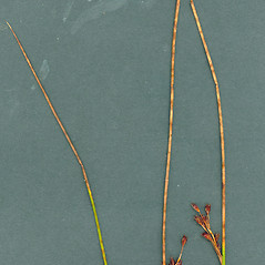 Plant form: Juncus balticus. ~ By Glen Mittelhauser. ~ Copyright © 2017 Glen Mittelhauser. ~ www.mainenaturalhistory.org