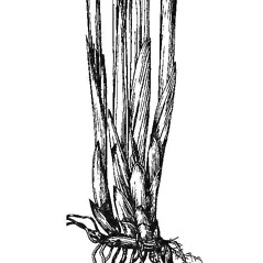 Stems and sheaths: Juncus balticus. ~ By Mary Barnes Pomeroy. ~ Copyright © 2017 Estate of Herbert Mason. ~ Any use permitted ~ Mason, HL. 1957. A flora of the Marshes of California. U. of California Press, Berkeley and Los Angeles, Library of Congress number 57-7960