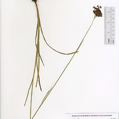 Plant form: Juncus biflorus. ~ By The Herbarium of The Morton Arboretum (MOR). ~ Copyright © 2018 The Morton Arboretum. ~ Ed Hedborn, The Morton Arboretum ~ The Herbarium of The Morton Arboretum