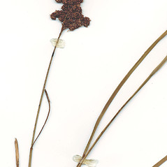 Inflorescences: Juncus biflorus. ~ By CONN Herbarium. ~ Copyright © 2019 CONN Herbarium. ~ Requests for image use not currently accepted by copyright holder ~ U. of Connecticut Herbarium - bgbaseserver.eeb.uconn.edu/