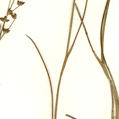 Leaves and auricles: Juncus brevicaudatus. ~ By CONN Herbarium. ~ Copyright © 2018 CONN Herbarium. ~ Requests for image use not currently accepted by copyright holder ~ U. of Connecticut Herbarium - bgbaseserver.eeb.uconn.edu/