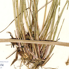 Stems and sheaths: Juncus brevicaudatus. ~ By CONN Herbarium. ~ Copyright © 2018 CONN Herbarium. ~ Requests for image use not currently accepted by copyright holder ~ U. of Connecticut Herbarium - bgbaseserver.eeb.uconn.edu/
