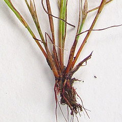 Stems and sheaths: Juncus bufonius. ~ By Donald Cameron. ~ Copyright © 2020 Donald Cameron. ~ No permission needed for non-commercial uses, with proper credit