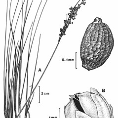 Plant form: Juncus compressus. ~ By New York State Museum. ~ Copyright © 2018 New York State Museum. ~ www.nysm.nysed.gov/imagerequest