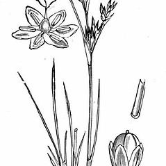 Stems and sheaths: Juncus compressus. ~ By Walter Hood Fitch . ~  Public Domain. ~  ~ www.luirig.altervista.org