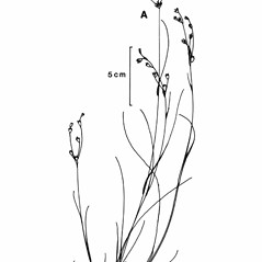 Plant form: Juncus debilis. ~ By New York State Museum. ~ Copyright © 2019 New York State Museum. ~ www.nysm.nysed.gov/imagerequest