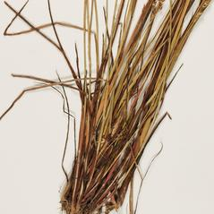 Stems and sheaths: Juncus debilis. ~ By Troy University Herbarium. ~ Copyright © 2019. ~ Brian Keener, bkeener[at]uwa.edu ~ Troy U. Herbarium