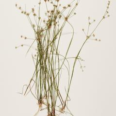 Plant form: Juncus diffusissimus. ~ By Troy University Herbarium. ~ Copyright © 2020. ~ Brian Keener, bkeener[at]uwa.edu ~ Troy U. Herbarium
