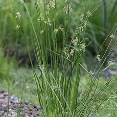 Plant form: Juncus effusus. ~ By Arieh Tal. ~ Copyright © 2018 Arieh Tal. ~ http://botphoto.com/ ~ Arieh Tal - botphoto.com