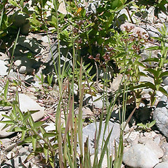 Plant form: Juncus ensifolius. ~ By Keir Morse. ~ Copyright © 2017 Keir Morse. ~ www.keiriosity.com ~ www.keiriosity.com