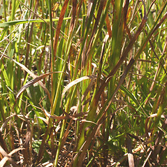 Leaves and auricles: Juncus ensifolius. ~ By Steve Garske. ~ Copyright © 2017 Steve Garske. ~ asimina[at]alphacomm.net