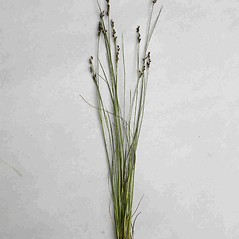 Plant form: Juncus gerardii. ~ By Jill Weber. ~ Copyright © 2020 Jill Weber. ~ jillweber03[at]gmail.com