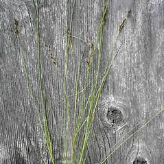 Plant form: Juncus gerardii. ~ By Jill Weber. ~ Copyright © 2017 Jill Weber. ~ jillweber03[at]gmail.com