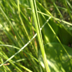 Stems and sheaths: Juncus gerardii. ~ By Jill Weber. ~ Copyright © 2018 Jill Weber. ~ jillweber03[at]gmail.com