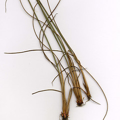Leaves and auricles: Juncus greenei. ~ By CONN Herbarium. ~ Copyright © 2018 CONN Herbarium. ~ Requests for image use not currently accepted by copyright holder ~ U. of Connecticut Herbarium - bgbaseserver.eeb.uconn.edu/