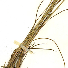 Stems and sheaths: Juncus greenei. ~ By CONN Herbarium. ~ Copyright © 2018 CONN Herbarium. ~ Requests for image use not currently accepted by copyright holder ~ U. of Connecticut Herbarium - bgbaseserver.eeb.uconn.edu/
