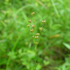 Inflorescences: Juncus marginatus. ~ By Arthur Haines. ~ Copyright © 2018. ~ arthurhaines[at]wildblue.net
