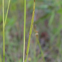 Leaves and auricles: Juncus marginatus. ~ By Arthur Haines. ~ Copyright © 2018. ~ arthurhaines[at]wildblue.net
