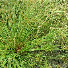 Plant form: Juncus pelocarpus. ~ By Glen Mittelhauser. ~ Copyright © 2018 Glen Mittelhauser. ~ www.mainenaturalhistory.org