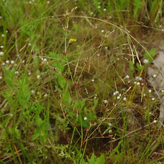 Inflorescences: Juncus pelocarpus. ~ By Glen Mittelhauser. ~ Copyright © 2018 Glen Mittelhauser. ~ www.mainenaturalhistory.org