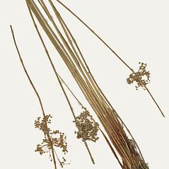 Plant form: Juncus pylaei. ~ By Missouri Botanical Garden. ~ Copyright © 2020 CC-BY-NC-SA. ~  ~ Tropicos, Missouri Botanical Garden - www.tropicos.org