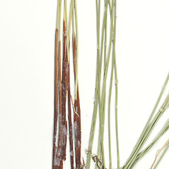 Leaves and auricles: Juncus pylaei. ~ By Derick B. Poindexter. ~ Copyright © 2017 Derick B. Poindexter. ~ dpoindex[at]live.unc.edu ~ Vascular Flora of Alleghany County, NC - vascularflora.appstate.edu/