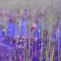 Flowers and fruits: Juncus stygius. ~ By Arthur Haines. ~ Copyright © 2020. ~ arthurhaines[at]wildblue.net