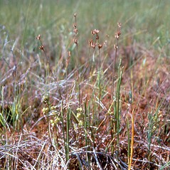 Plant form: Juncus stygius. ~ By Arthur Haines. ~ Copyright © 2019. ~ arthurhaines[at]wildblue.net