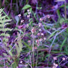 Inflorescences: Juncus subcaudatus. ~ By Arthur Haines. ~ Copyright © 2019. ~ arthurhaines[at]wildblue.net