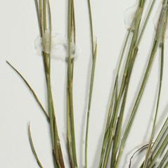 Stems and sheaths: Juncus subcaudatus. ~ By Derick B. Poindexter. ~ Copyright © 2019 Derick B. Poindexter. ~ dpoindex[at]live.unc.edu ~ Vascular Flora of Alleghany County, NC - vascularflora.appstate.edu/