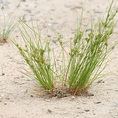 Plant form: Juncus tenuis. ~ By Arieh Tal. ~ Copyright © 2018 Arieh Tal. ~ http://botphoto.com/ ~ Arieh Tal - botphoto.com