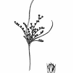Inflorescences: Juncus tenuis. ~ By Elizabeth Farnsworth. ~ Copyright © 2019 New England Wild Flower Society. ~ Image Request, images[at]newenglandwild.org