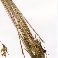 Stems and sheaths: Juncus vaseyi. ~ By CONN Herbarium. ~ Copyright © 2018 CONN Herbarium. ~ Requests for image use not currently accepted by copyright holder ~ U. of Connecticut Herbarium - bgbaseserver.eeb.uconn.edu/
